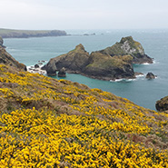 Yellow gorse on cliffs